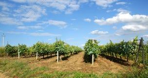 Serra di viti Moldavia Immagini Stock