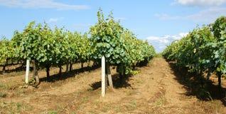 Serra di viti Moldavia Fotografie Stock Libere da Diritti