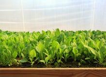 Serra, fogli delle piante giovani Fotografia Stock