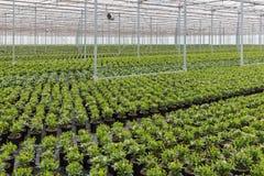 Serra olandese con coltivazione delle piante di Skimmia Fotografia Stock Libera da Diritti