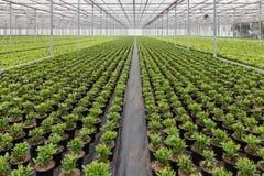 Serra olandese con coltivazione delle piante di Skimmia Fotografia Stock