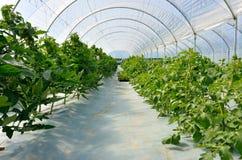 Serra per i pomodori Fotografia Stock