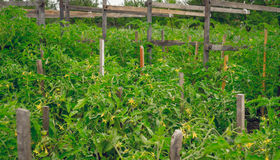 Serra rustica per coltivare i pomodori organici Immagine Stock Libera da Diritti