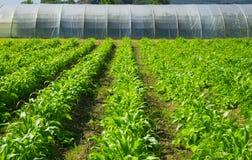 Serra su un'azienda agricola per produzione alimentare Fotografia Stock