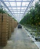 Serra verticale con le pile alte degli arbusti del pomodoro di scatole della prospettiva pigra dei pallet scuri e del cartone Immagine Stock