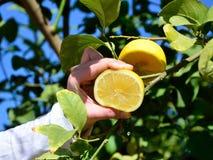 Serrage du citron Photos stock