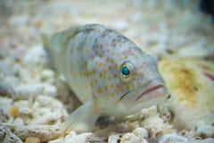 Serranidae. In aquarium Royalty Free Stock Images