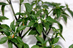 Serrano Chili Pepper, Capsicum annuum 'Serrano'. A Mexican pepper considered hotter than Jalapeno, used mostly in Salsa and eaten raw stock photo