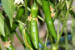Serrano Chili Pepper, Capsicum annuum 'Serrano'. A Mexican pepper considered hotter than Jalapeno, used mostly in Salsa and eaten raw stock image