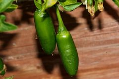 Serrano Chili Pepper, Capsicum annuum Serrano. A Mexican pepper considered hotter than Jalapeno, used mostly in Salsa and eaten raw stock images