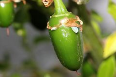 Serrano Chili Pepper, Capsicum annuum Serrano. A Mexican pepper considered hotter than Jalapeno, used mostly in Salsa and eaten raw stock photos