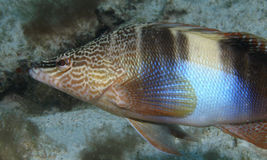 Serranus Photographie stock