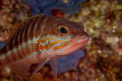 Serranus cabrilla Stock Photography