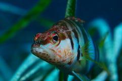 Serranus scriba. A eye contact with fish Stock Photos