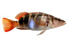 Serranus Scriba fish Painted Comber Royalty Free Stock Photography