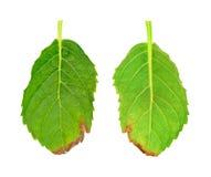 serrata листьев hydrangea птицы голубое больное Стоковые Изображения RF