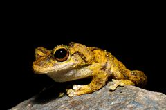 Serrata de ojos verdes de Litoria de la rana arbórea fotografía de archivo libre de regalías