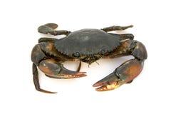 Serrata de Scylla de crabe de boue Image stock