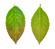 serrata листьев hydrangea fu птицы голубое больное Стоковые Фотографии RF