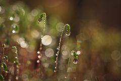 Serrate Dung Moss flower closeup with raindrops. Spring time. It is raining Royalty Free Stock Photography