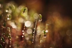 Serrate Dung Moss flower closeup with raindrops. Spring time. It is raining Royalty Free Stock Image
