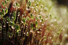 Serrate Dung Moss flower closeup with raindrops. Spring time. It is raining Royalty Free Stock Photo
