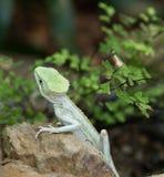 Serrated ящерица василиска Стоковое Изображение RF