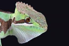 Serrated casquehead iguana (Laemanctus serratus) Stock Image