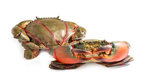 Serrated mud crab, Mangrove crab, Black crab, Giant mud crab. A sea crab on white background Royalty Free Stock Photo
