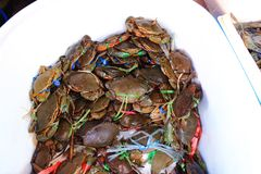 Serrated mud crab Stock Photo