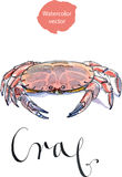Serrated mud crab. Steamed mud crab, watercolor, hand drawn - vector Illustration Stock Photos