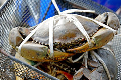 Serrated mud crabs Stock Photos