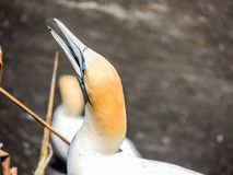 Serrator Australasian de Morus de fou de Bassan, plage de Murawai, Auckland, N Images stock