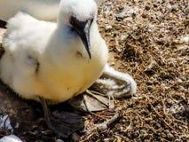 Serrator Australasian de Morus de fou de Bassan, poussins et sous jeunes, Photo stock