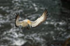 Serrator della sula - sula australiana - volo di takapu sopra la colonia di incastramento in Nuova Zelanda immagini stock
