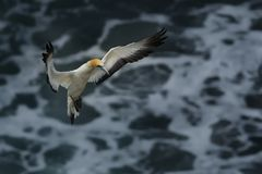 Serrator Sula - αυστραλιανό Gannet - takapu στην παραλία Νέα Ζηλανδία Muriwai Στοκ Εικόνες