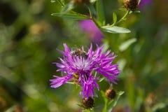Serratula tinctoria Lizenzfreies Stockbild
