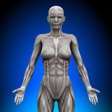 Serratus Anterior - Female Anatomy Muscles. Serratus Anterior - Female Human Anatomy Muscles Stock Photography
