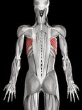 The serratus anterior Royalty Free Stock Photography