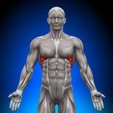 Serratus föregående - anatomimuskler Arkivbild