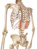 The serratus posterior inferior Stock Image