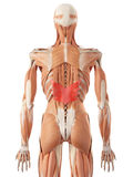 The serratus posterior inferior Stock Photography