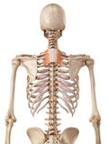 The serratus posterior superior Stock Image