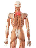 The serratus posterior superior Stock Photo