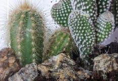 serre Cactus Tuin nave Glas watering deco stock afbeelding