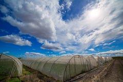 Serre chaude avec des légumes de cardon sous le ciel bleu dramatique Images stock