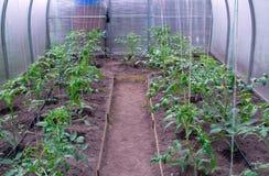 Serre chaude avec des tomates Images stock