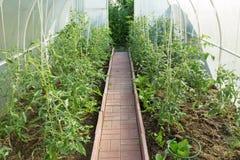 Serre chaude avec des tomates Photographie stock libre de droits