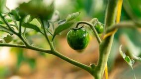 Serre chaude avec les tomates fleurissantes vertes photo libre de droits