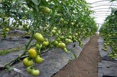 Serre chaude de polycarbonate pour les tomates croissantes Photographie stock